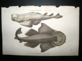 Shaw C1810 Antique Fish Print. Angel Shark (Side & Back View)